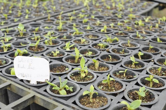 Produção de mudas de bananeira na unidade da Biofábrica em Ilhéus (Foto Antônio Carlos).